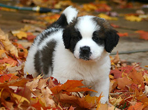 St. Bernard puppy playing in the leaves